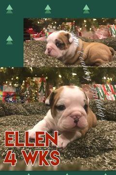 Bulldog Puppy For Sale In San Antonio Tx Adn 21234 On