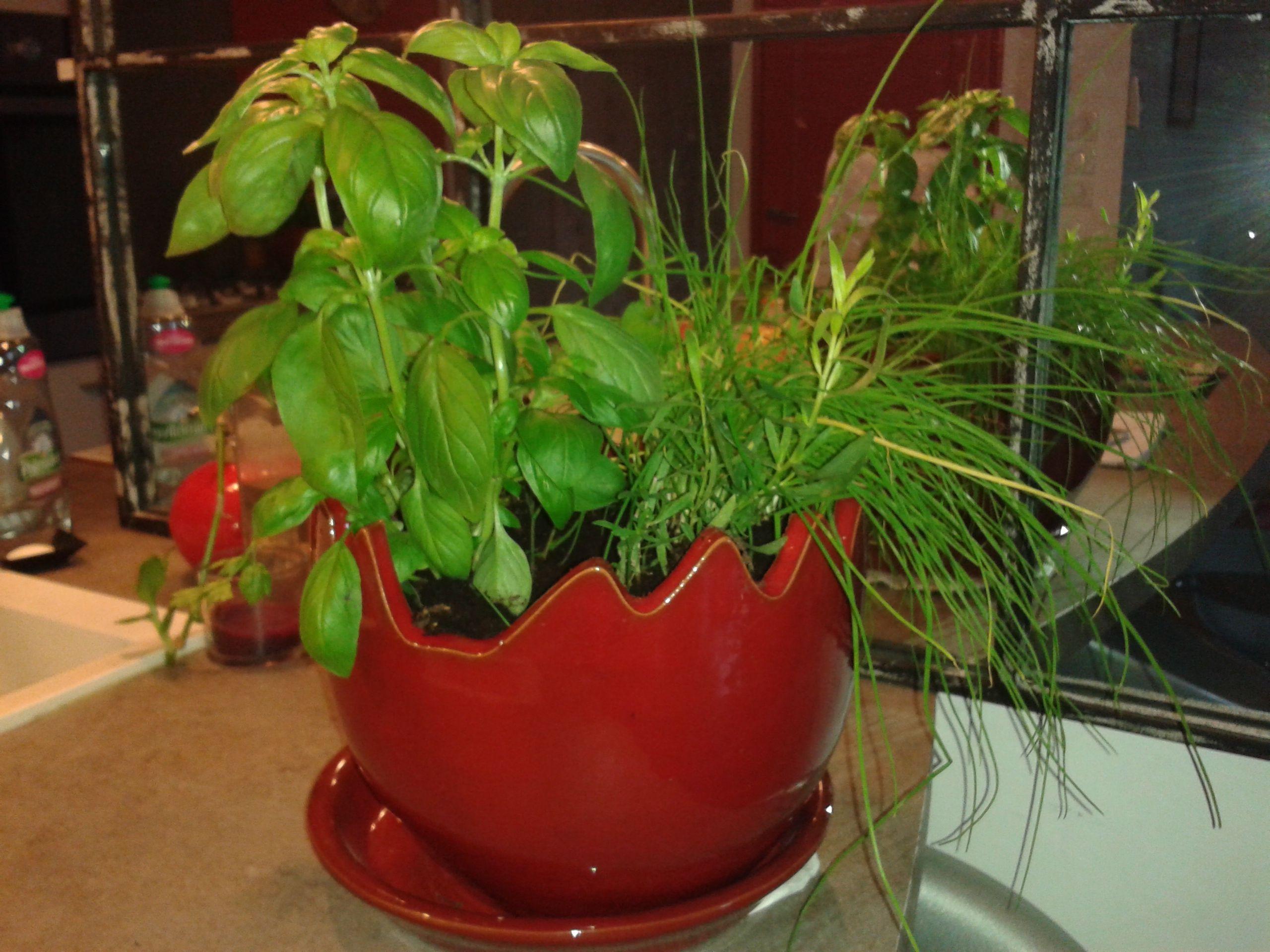 Bientôt les grillades au goût de Provence, les salades de tomates basilic et mozzarella. Notre cliente Élisabeth a converti son vase Clair de Terre- Caliméro Bois de Santal afin d'accueillir sarriette- persil-ciboulette pour les avoir à porter de mains, sur son plan de travail. Une bonne idée et un très beau rendu.