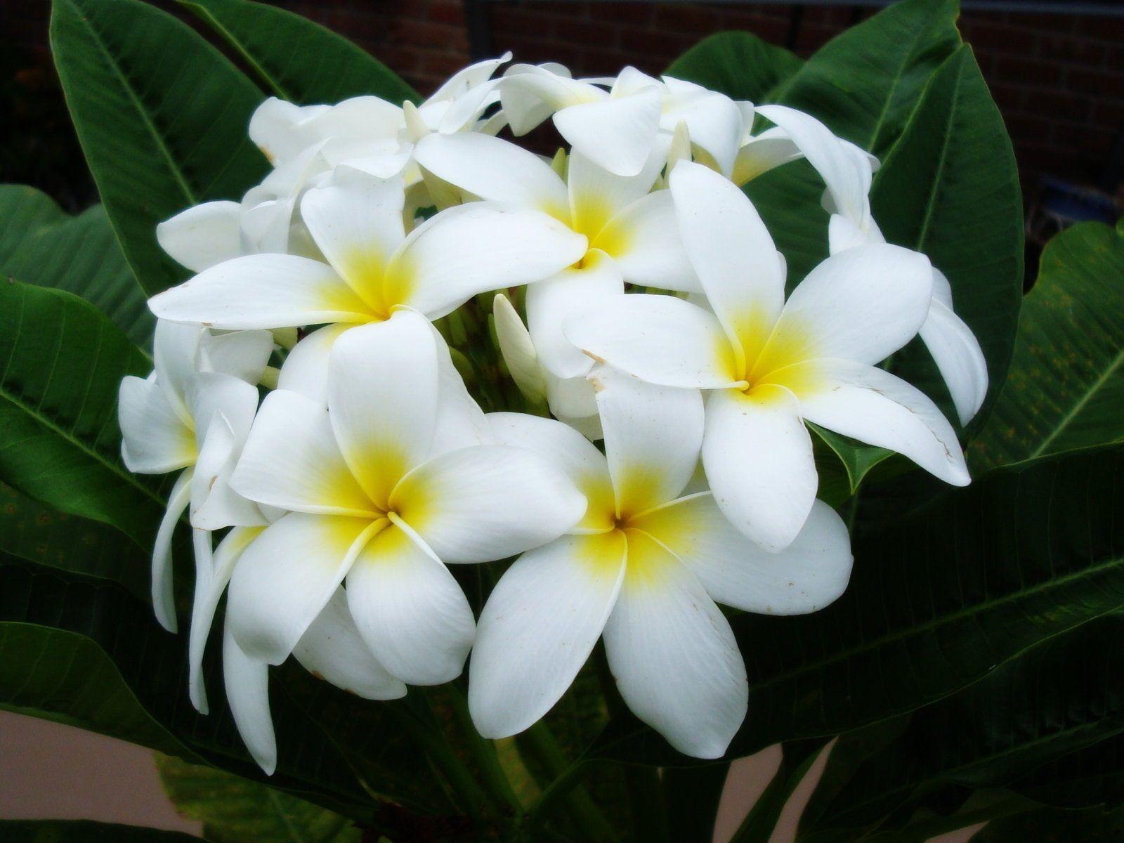 La Flor Nacional Sacuanjoche Flora Flowers Frangipani Plumeria