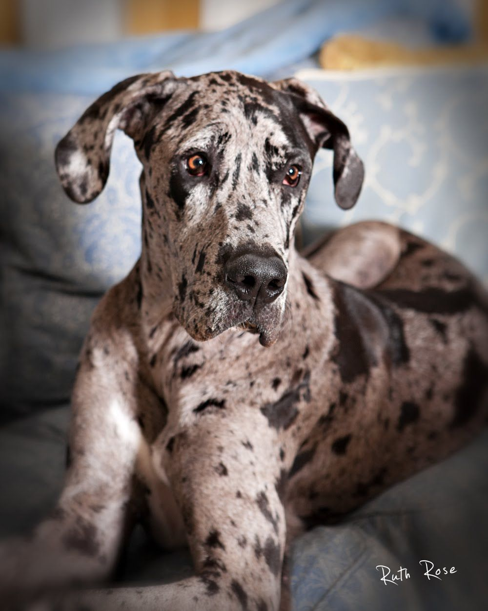 Such A Beautiful Great Dane Can T Wait To Get Mine