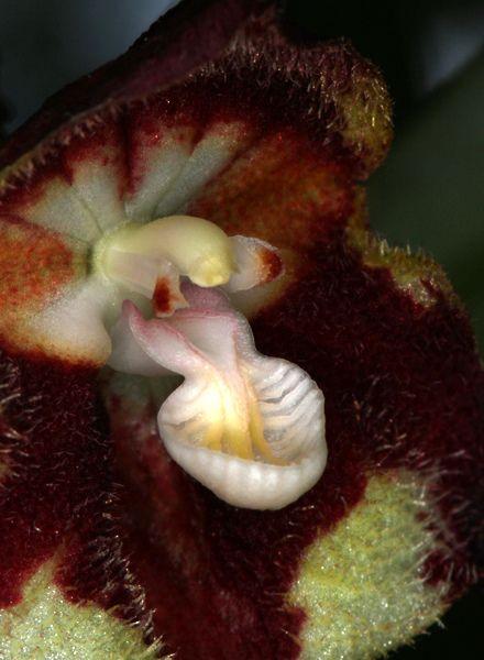 Further Close-up of Dracula nosferatu - Flickr - Photo Sharing!