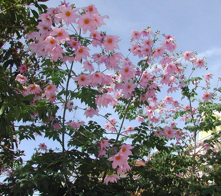 Dahlia Imperialis Tree Dahlia Winter Plants Dahlia Flower Plants