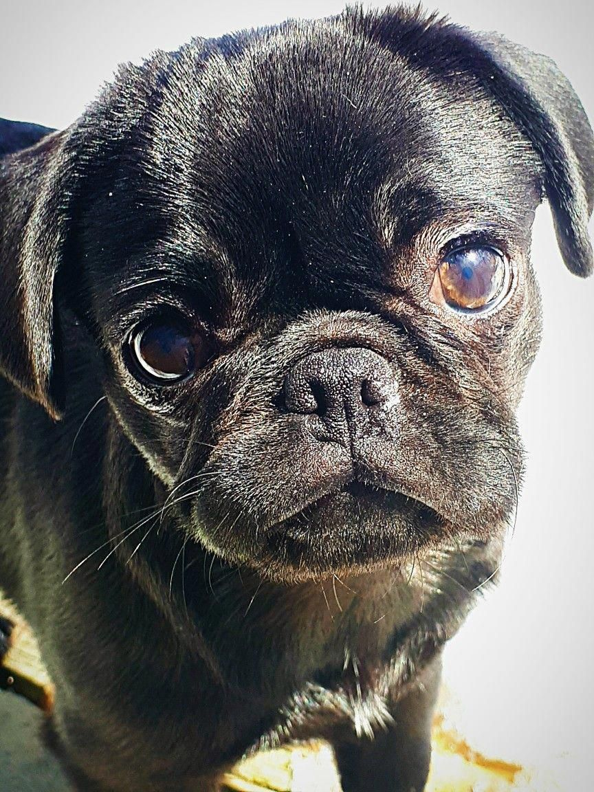Exceptional Silver Pug Info Is Readily Available On Our Site