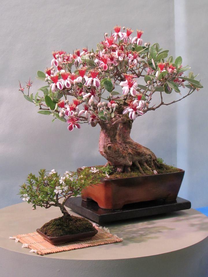 Flowering Bonsai Bonsai Trees Or Plants Bonsai Bonsai Tree Care