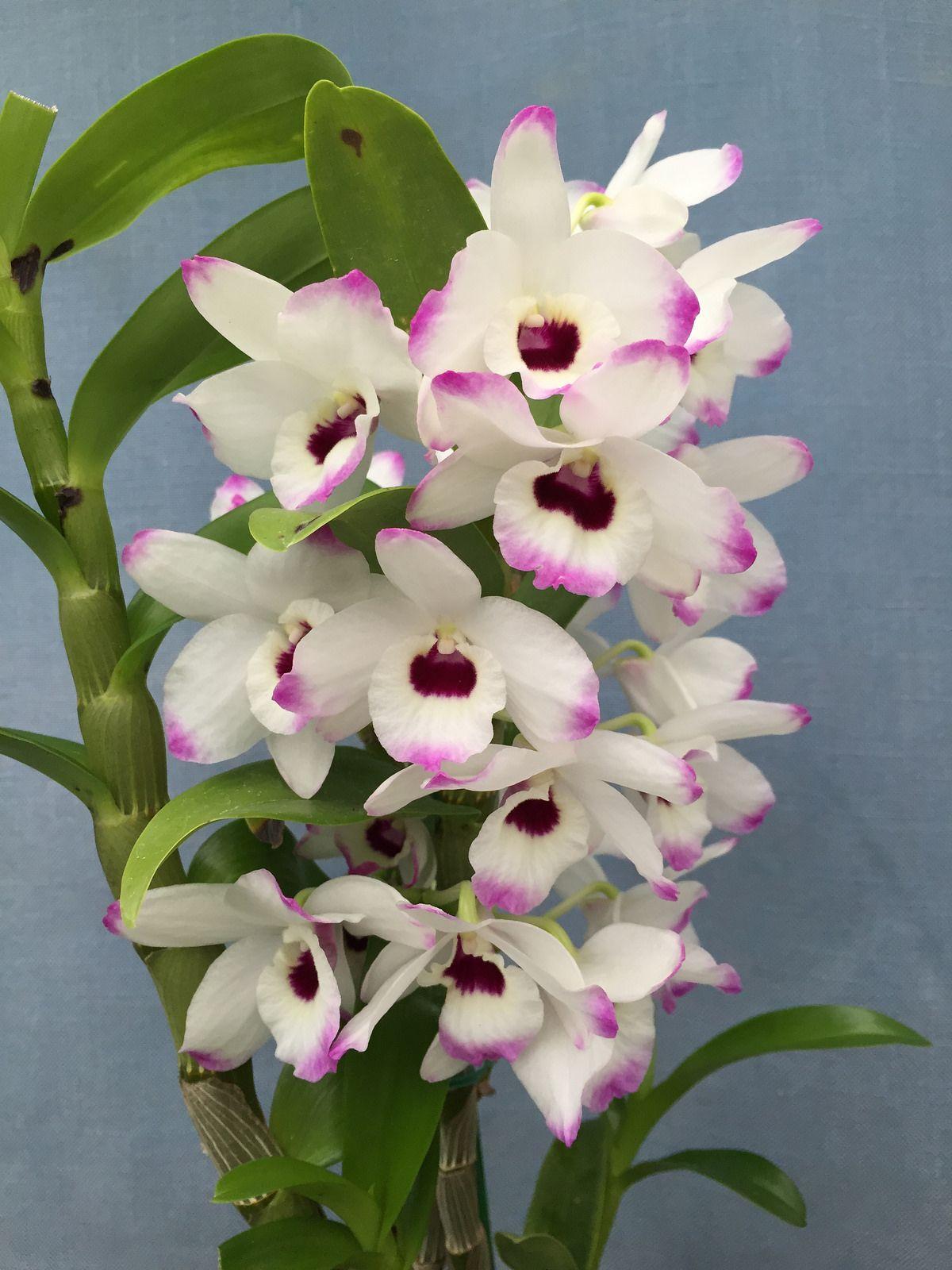 Dendrobium Love Memory 'Fizz' (White Rabbit x Sachi) Z ...