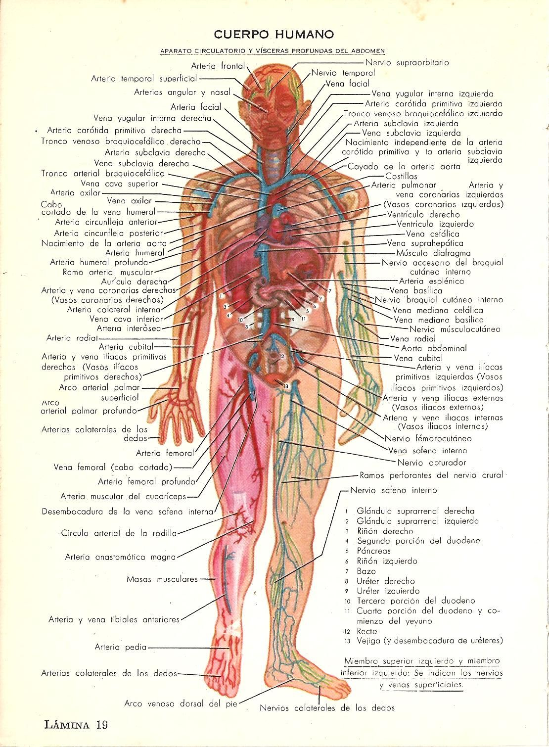 Cuerpo humano. Aparato circulatorio y vísceras profundas del abdomen ...