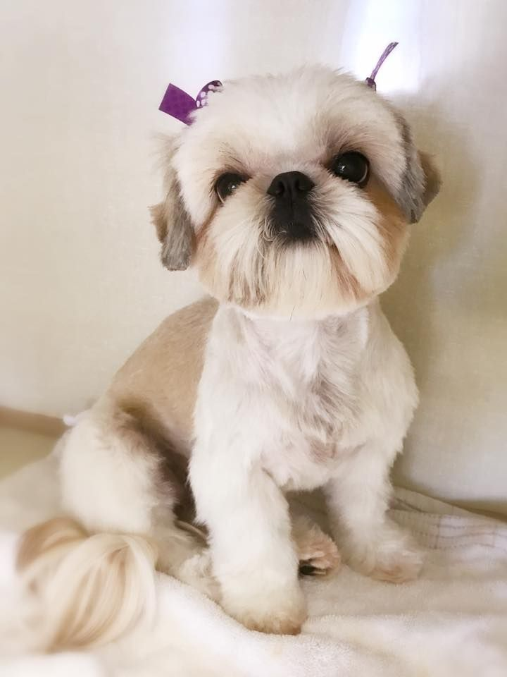 Grooming By Alex Pet Grooming One Of The Grooming Style For A Shih Tzu Breed Dog Grooming Styles Shih Tzu Hair Styles Shih Tzu