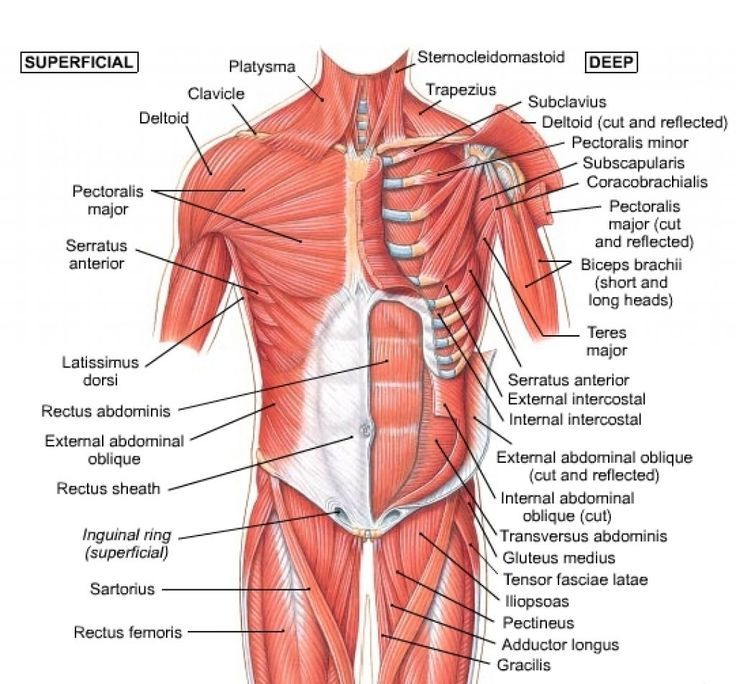 anterior muscles | Anatomy and Physiology | Pinterest