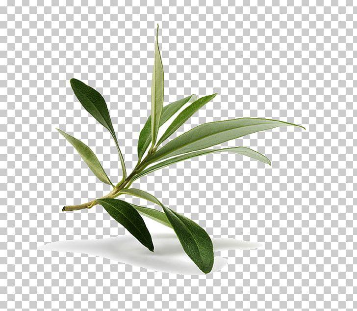 Lisc Oliwny Galazka Oliwna Fotografia Stock Png Clipart Galaz Uscisk Ekstrakt Flowerpot Jedzenie Bezplatny Png Sciaga Olive Branch Flower Pots Olive Leaf