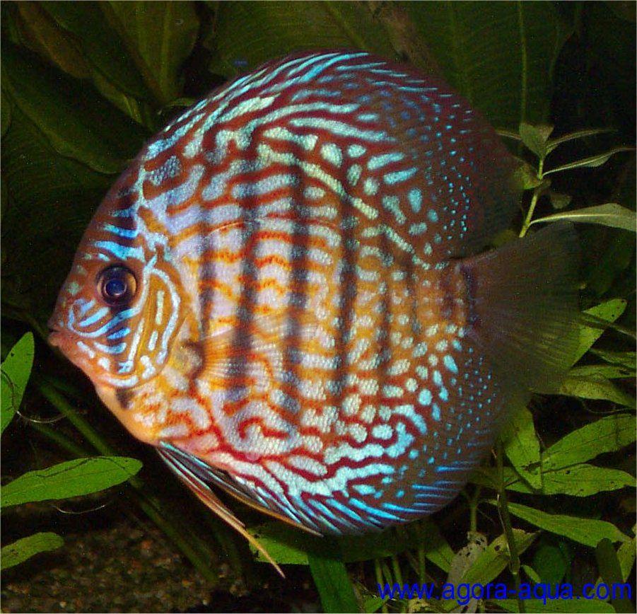 Snakeskin Discus Aquarium Animaux Aquatiques Animaux