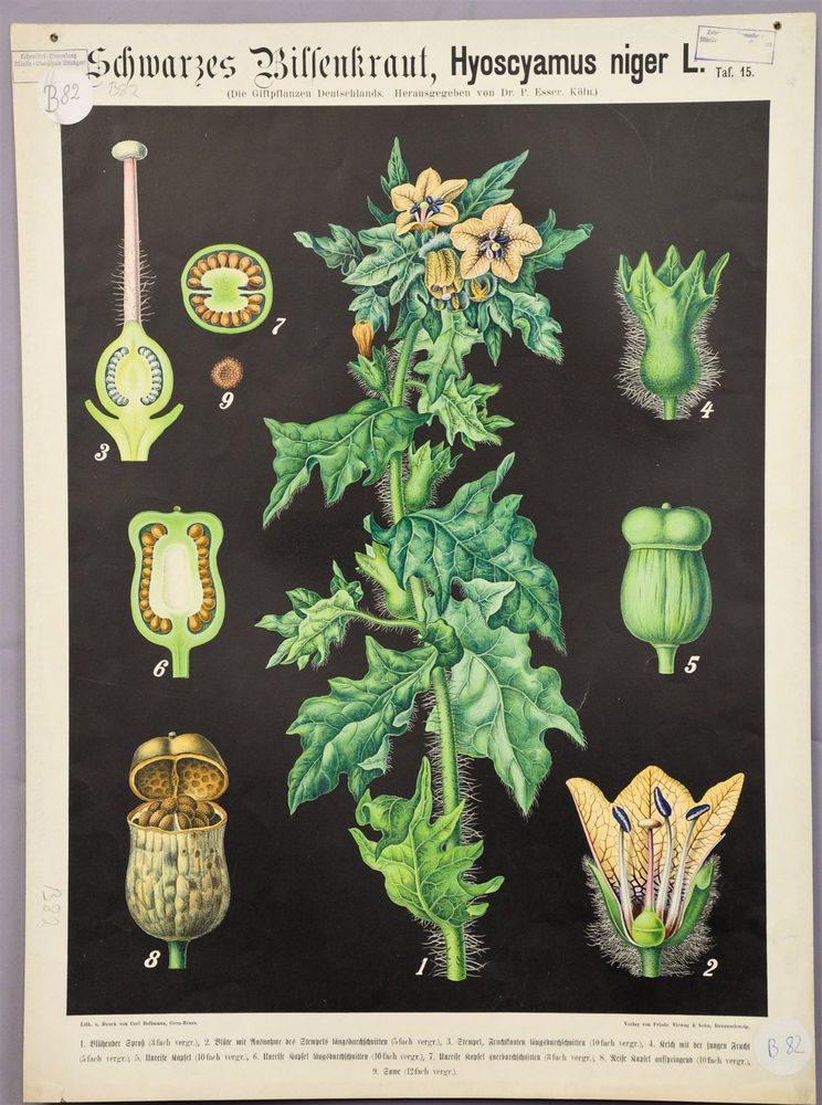 antique botanical wall chart ca.1900 black henbane e5427 #Vintage