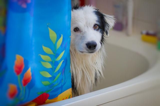 Border Collies Are One Of The Smartest Dog Breeds Border Collie Smartest Dog Breeds Collie