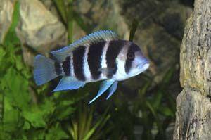 Frontosa Cichlid Cichlids Pet Fish Aquarium Fish