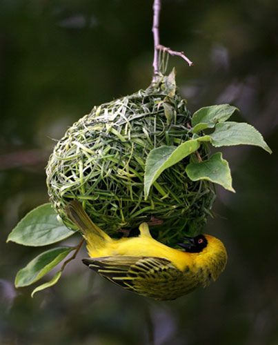 A masked weaver builds its nest from the branch of a tree in Johannesburg, South Africa.