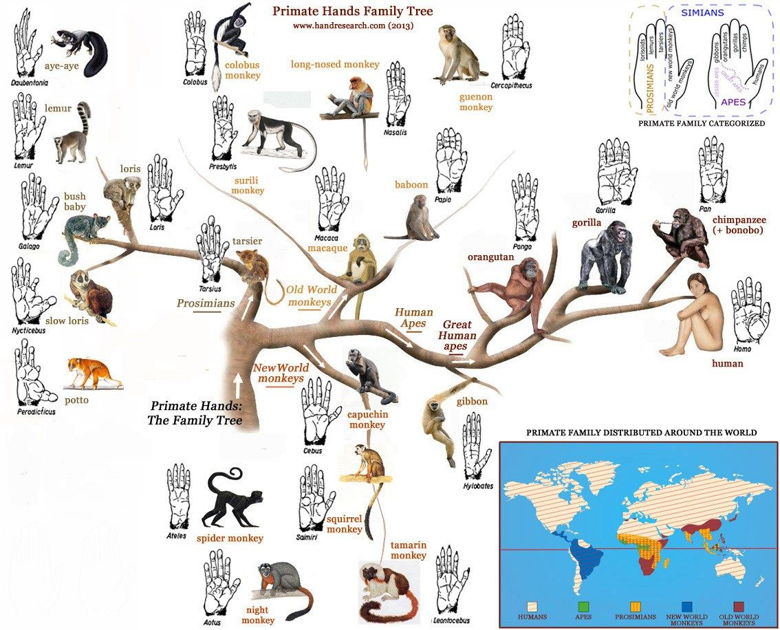 Primate Hands Family Tree