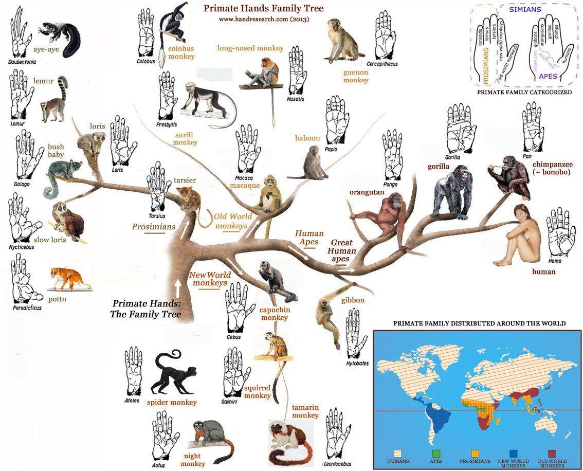 Primate Hands Family Tree Non Human Primates