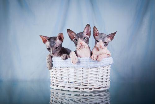 Que guaposssssss  Razas gato exótico Puede que nunca han visto antes