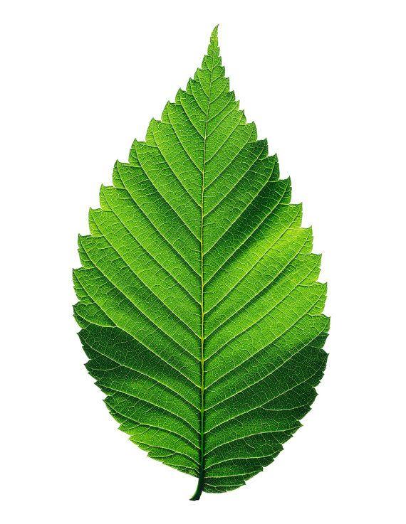 American Elm leaf Elm Leaves, Tree leaves, Tree art
