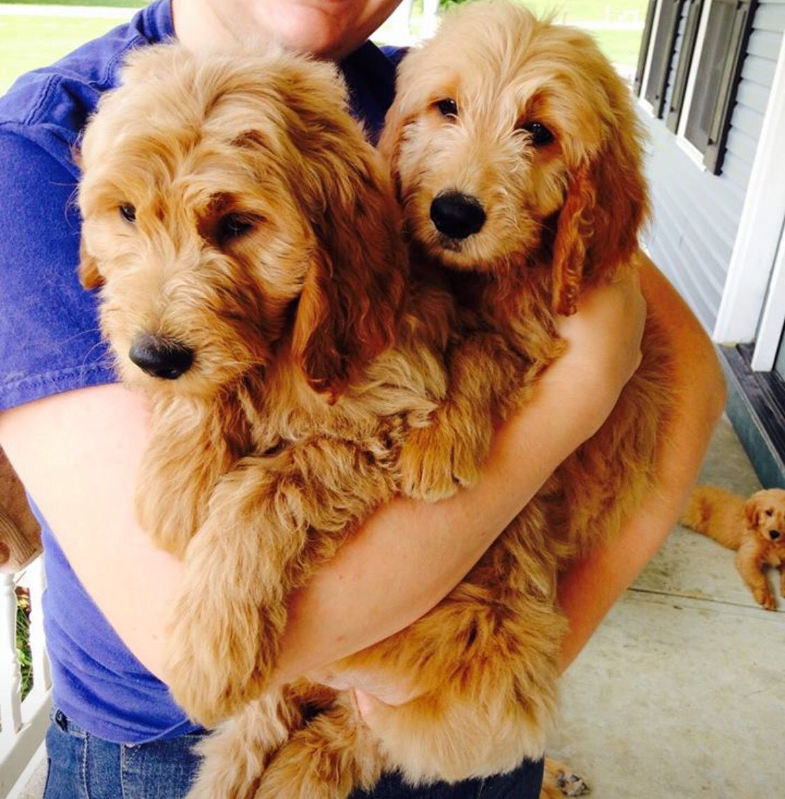 Exceptional Puppies From Doodle Bug Goldendoodles Based Out Of Dayton Ohio And Can Be Found On Facebook Puppies Goldendoodle Dayton Ohio