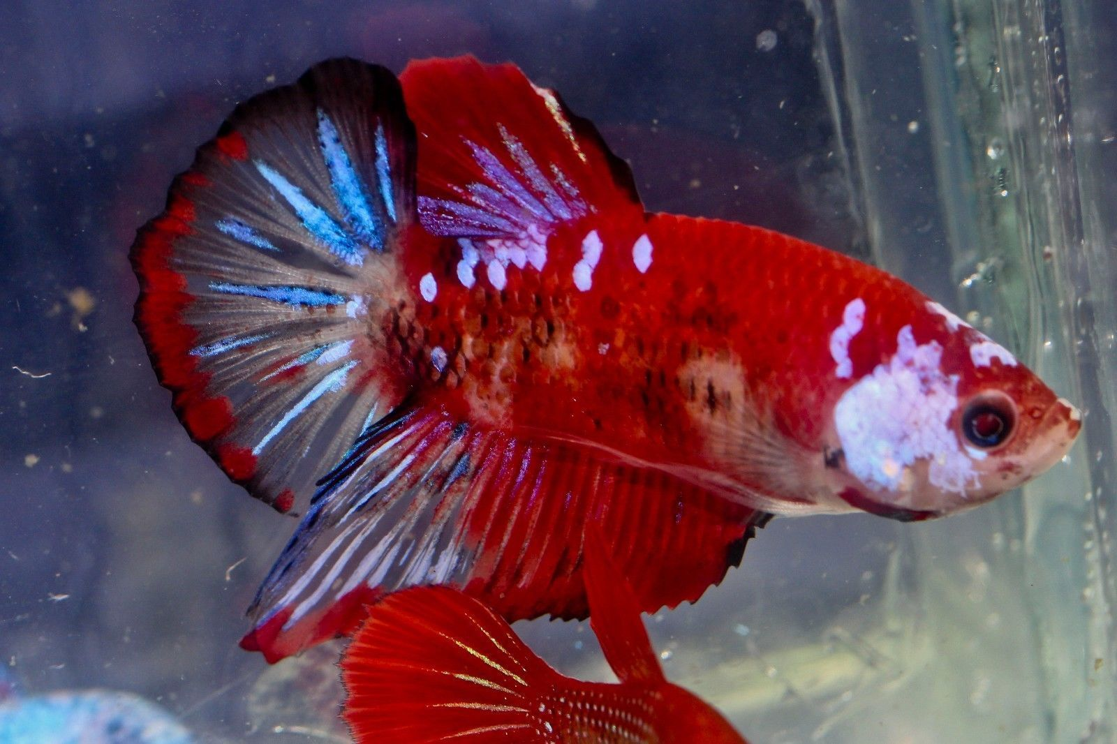 A-47 indonesian imported red koi halfmoon plakat male betta fish ...