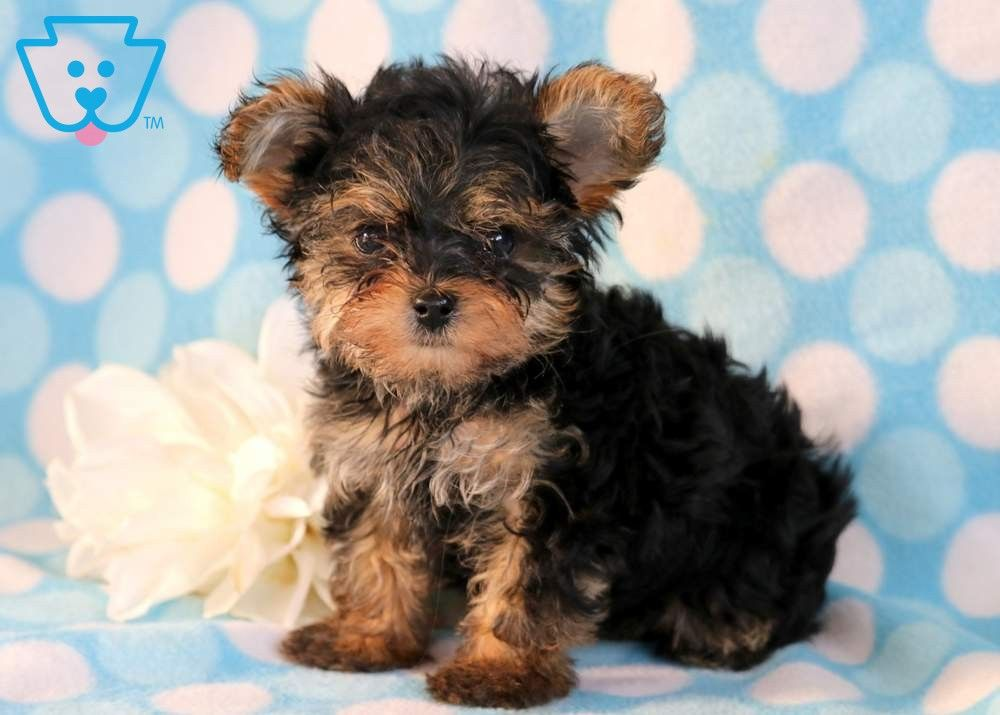 Boots Puppies Yorkie Poo Puppies Yorkshire Terrier