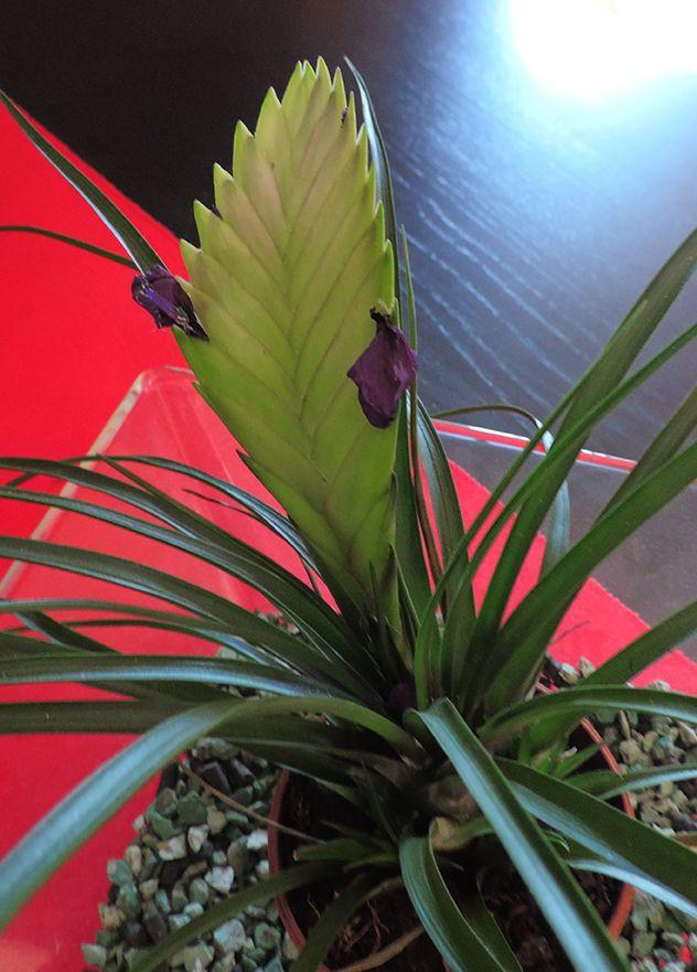 Tillandsia Cyanea Linden Ex K Koch: Tillandsia Cyanea. Http://www.elhogarnatural.com