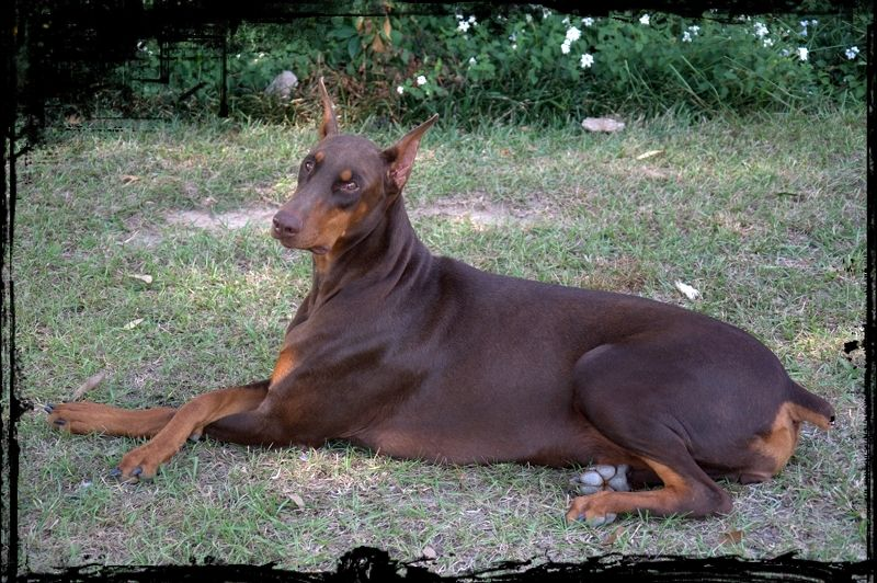 Flying Mop And Other Canine Glam Shots Doberman Pinscher