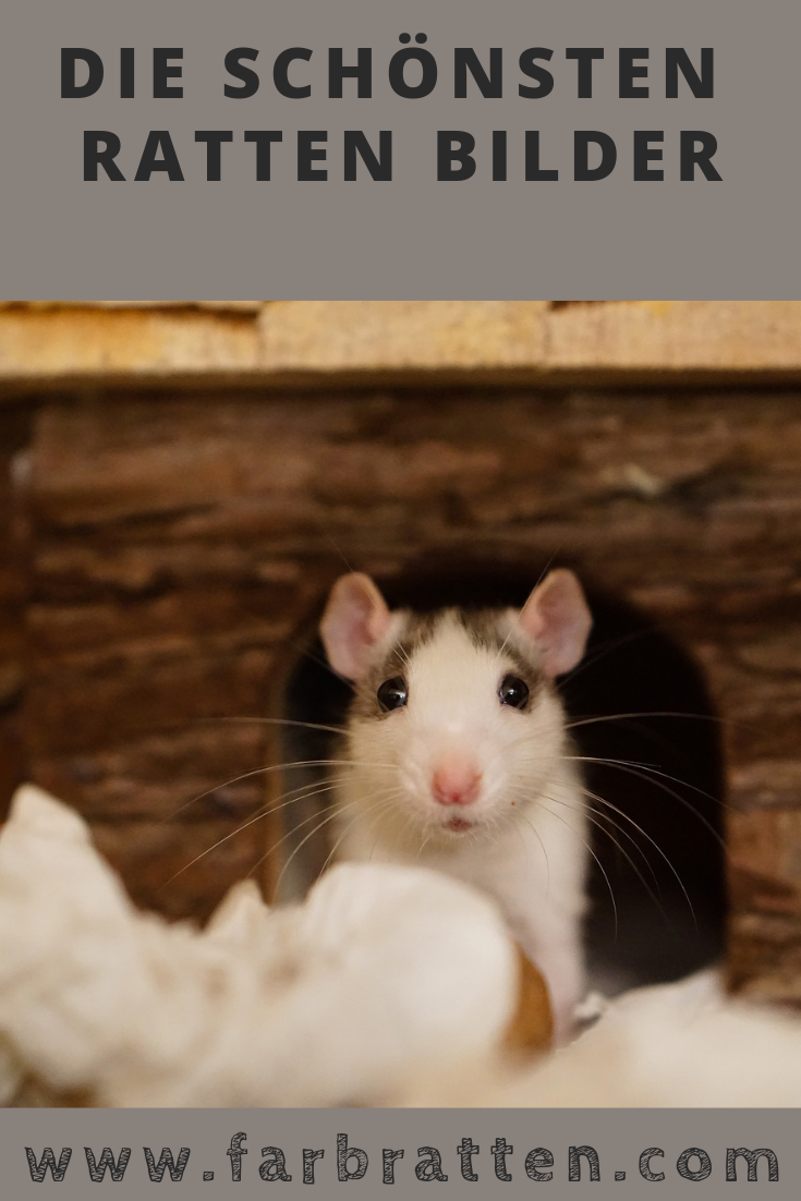 Ratten Sprüche