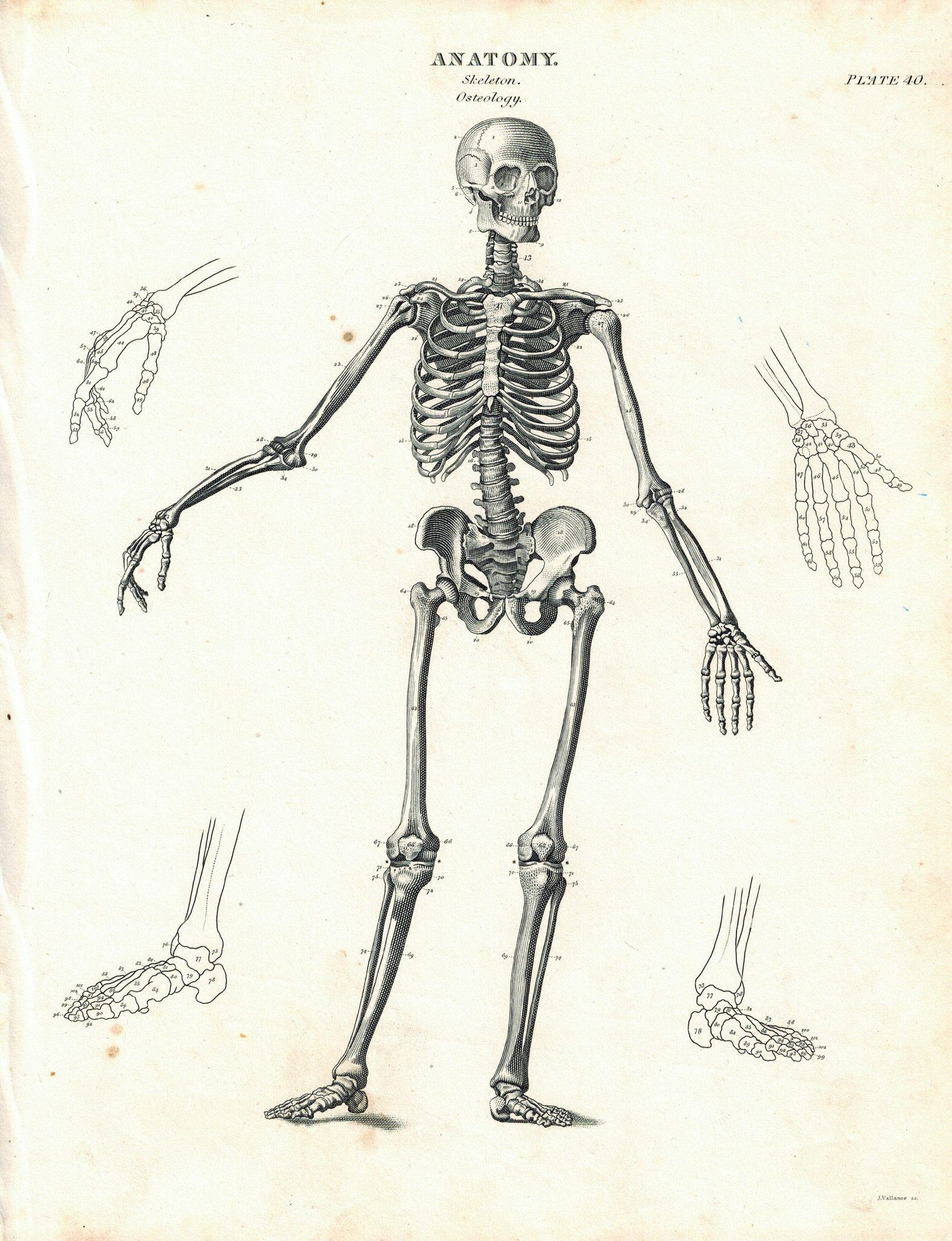 Human Skeleton Osteology Antique Anatomy Print 1834 | Pinterest ...