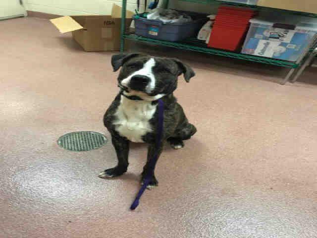 Bullboxer Pit dog for Adoption in Ogden, UT. ADN718514 on