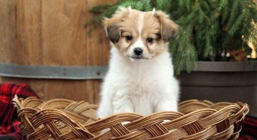 Grantville Pa Chihuahua Meet Chakito A Dog For Adoption Chihuahua Pets Pet Adoption