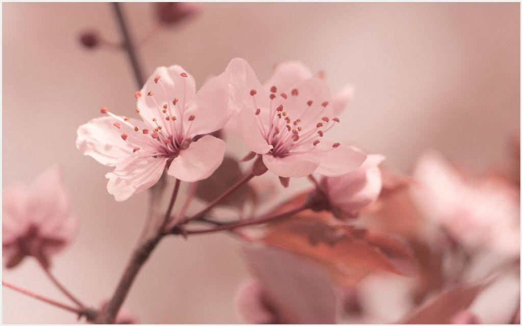 Sakura Flower Blossom Hd Wallpaper Sakura Flower Blossom Hd Wallpaper 1080p Sakura Flower Blossom Hd Wallp Sakura Flower Spring Wallpaper Flower Backgrounds