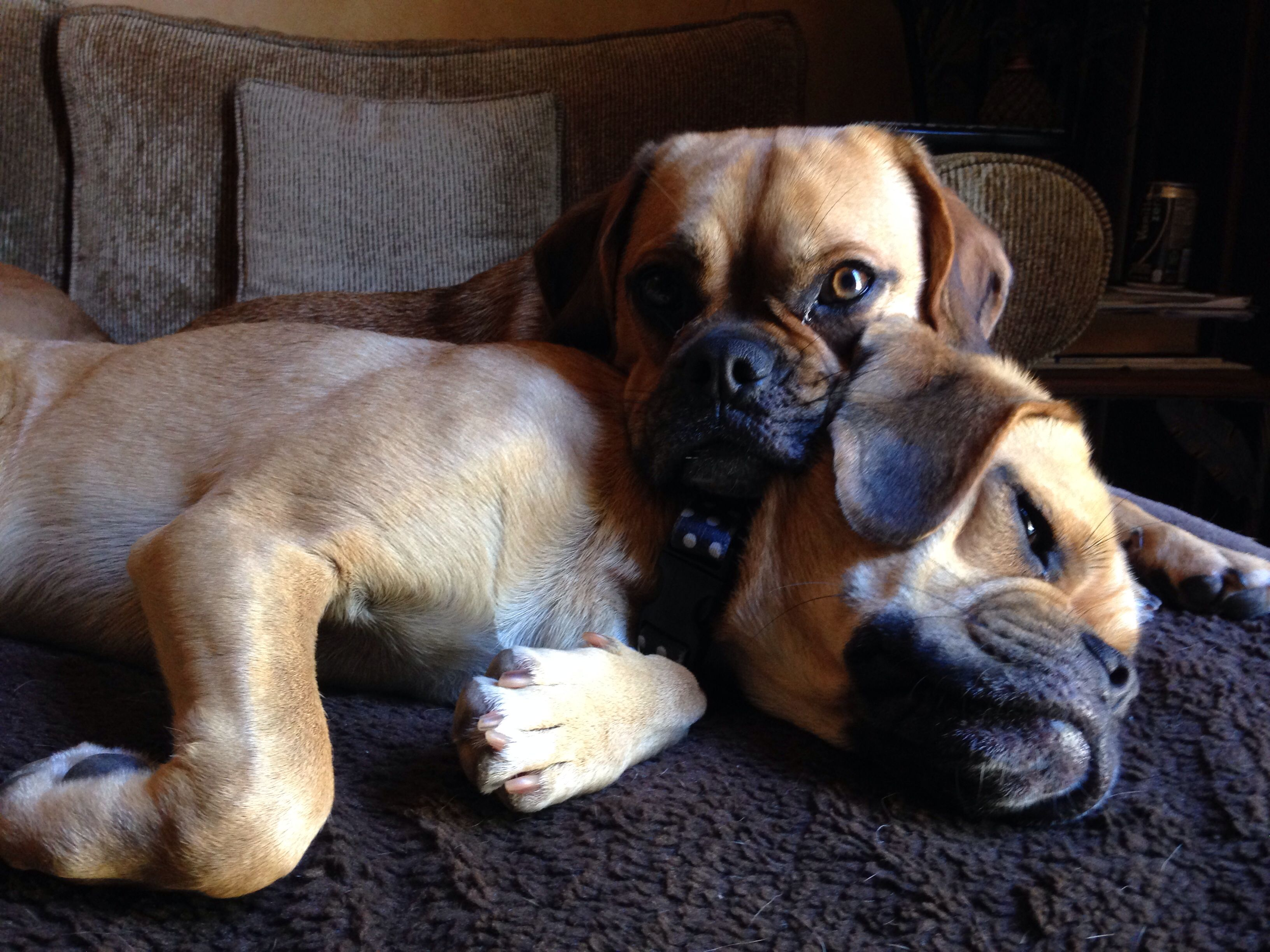 Puggle Love Puggle Puppies Cute Dogs Puppies