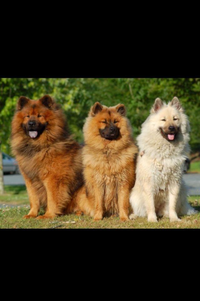 Pin Von Quinn Van Treeck Auf Life Eurasier Hunderassen Hunde Rassen