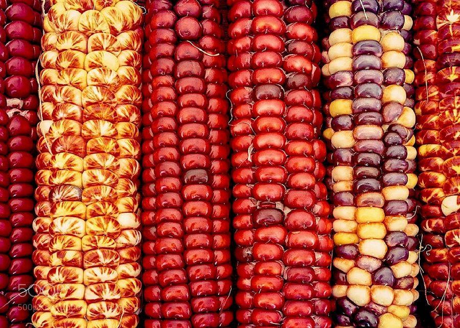 3 Sisters: Native American Corn Varieties by canowicakte ...