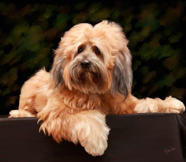 Tibetan Terrier | Tibetan terrier, Terrier, Dog breeds