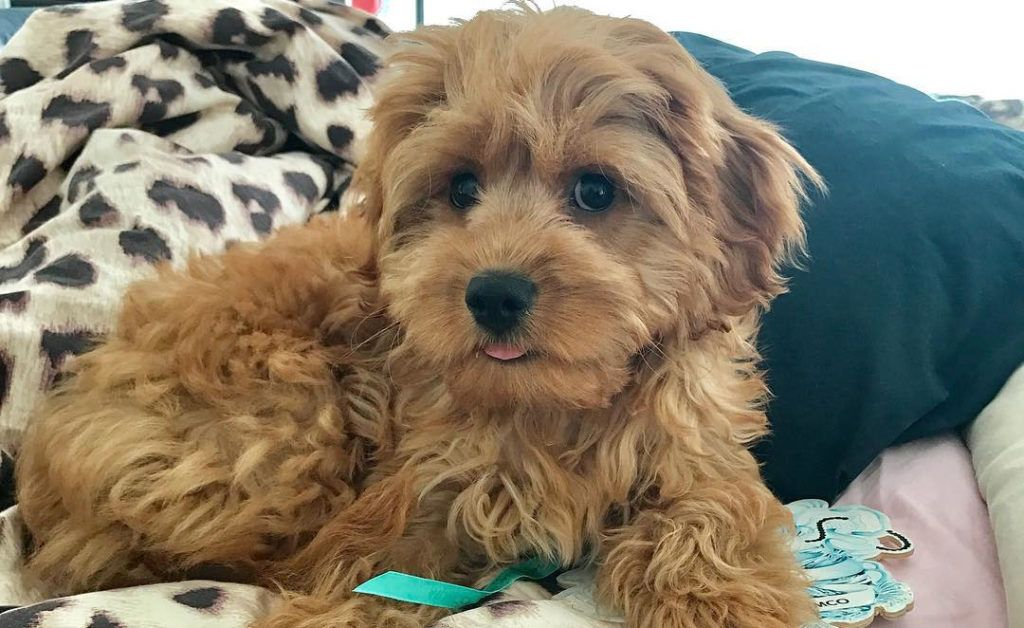 12 Amazing Things About Cavoodle Charles Spaniel Poodle Mix Dog