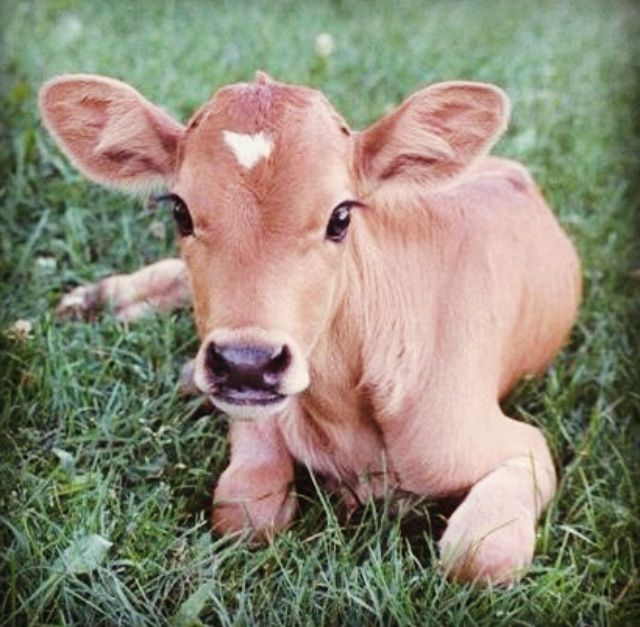 This Family Needs A Pet Cow Not An Eating Cow Pet Pet Cute Cows Baby Cows Cute Animals