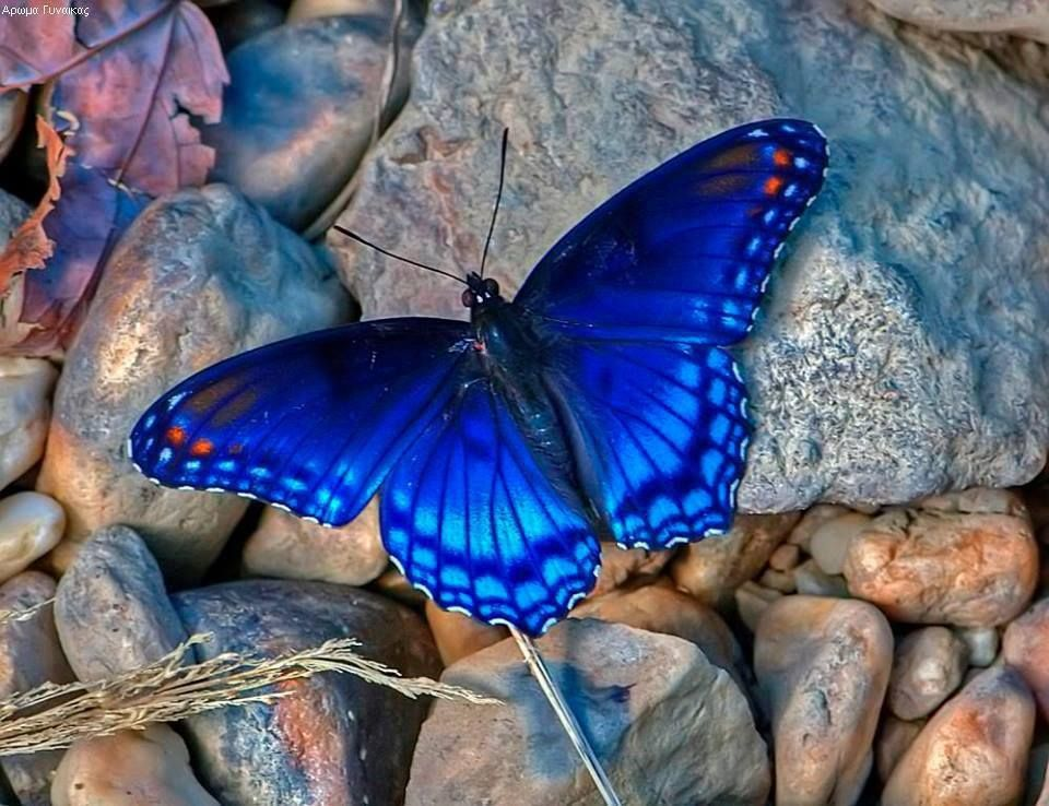 Pin By Carla Johnson On Butterfly Beautiful Butterflies Blue Butterfly Butterfly