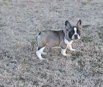 Sable Pied French Bulldog Or Fawn Pied With Black Mask Pied