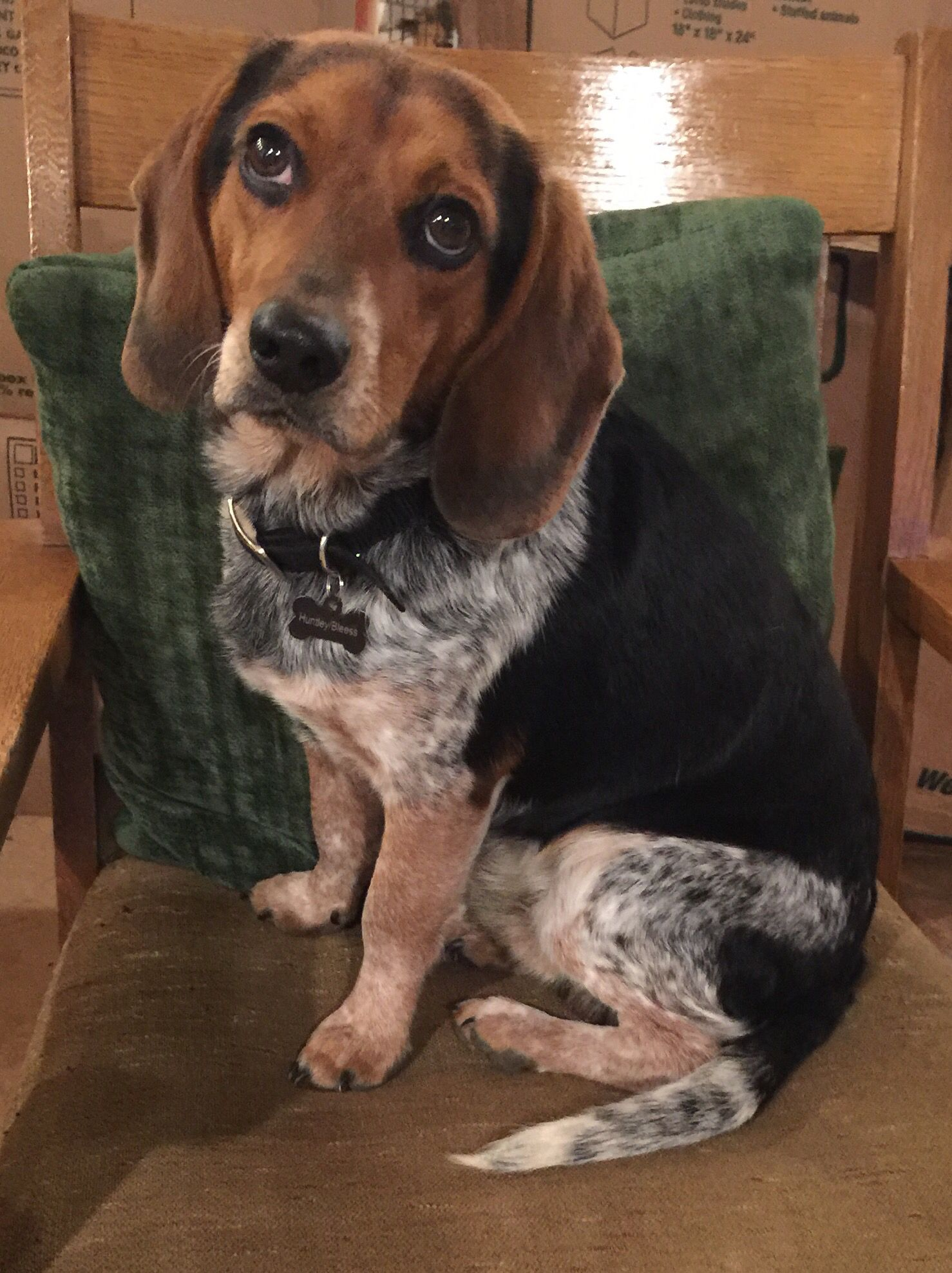Stunning blue tick 13 inch Beagle Beagles are Best