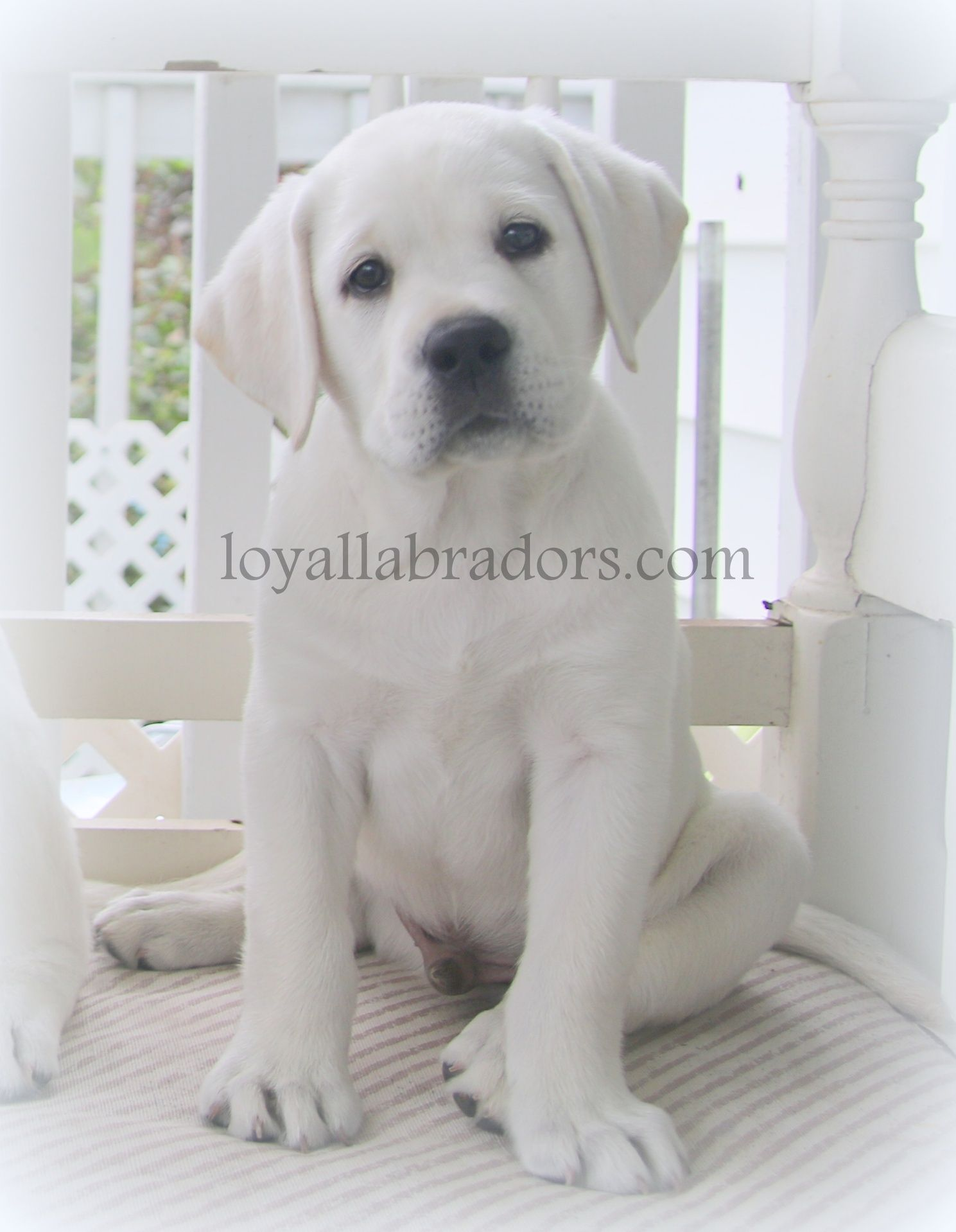 white English Lab puppies & White Labrador Retriever puppies Our