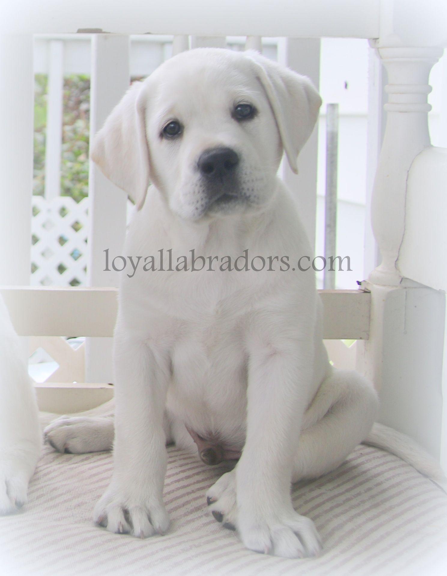 White English Lab Puppies White Labrador Retriever Puppies Our White Labrador Puppies For Sale Are From C Lab Puppies White Lab Puppies White Labrador Puppy