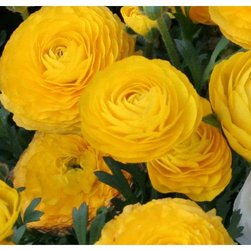 Yellow Ranunculus Totally Planting These This Year Plants Flowers Bloom