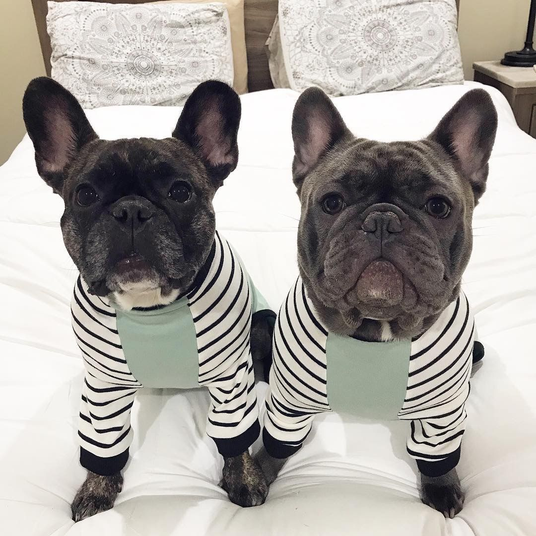 Pin about French bulldog and French on Frenchiestore