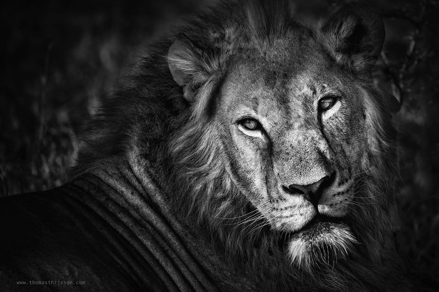 Lion black and white photography by thomas thijssen