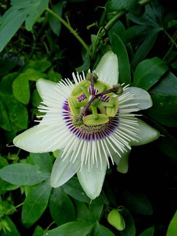 Passion Flower Winterland Passiflora Passiebloem Zeldzame Bloemen Tuinplanten