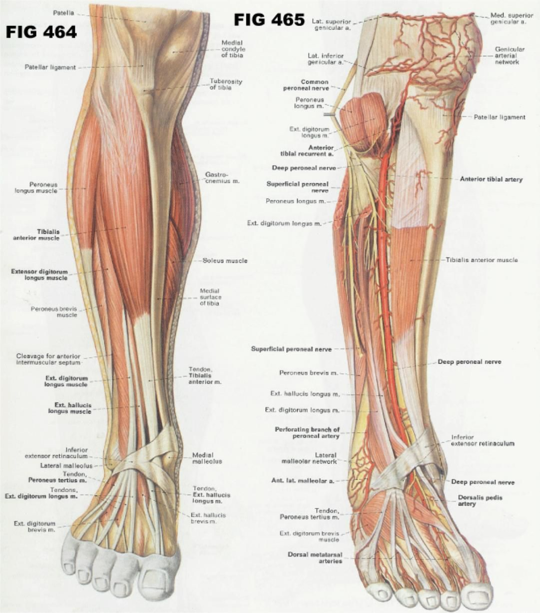 Muscles work in unison with others not just one or two alone. When a ...