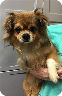 Huntsville Al Pekingese Mix Meet Boots A Dog For Adoption
