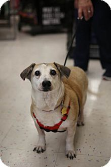 Olive Branch Ms Corgi Jack Russell Terrier Mix Meet Lady A